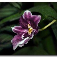 Орхидеи. :: GaL-Lina .