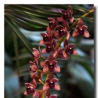 Орхидея Цимбидиум :: GaL-Lina .