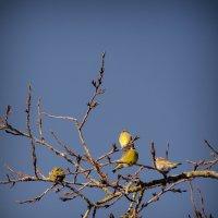 Птички.Маленькие желтенькие. :: Анна Никонорова