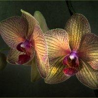 Со свежестью орхидеи :: Lev Serdiukov