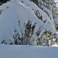 Снежные лапы :: Наталья Джикидзе (Берёзина)