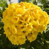 Желтые цветы Израиля :: Александр Деревяшкин