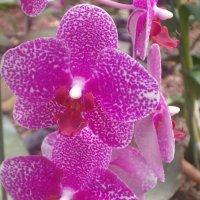 орхидея :: Герович Лилия