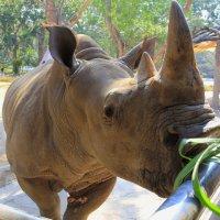 Знакомство с носорогом... :: Vladimir 070549