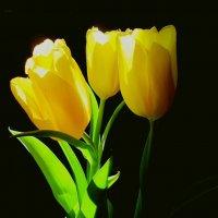 Жёлтые тюльпаны. :: Михаил Попов