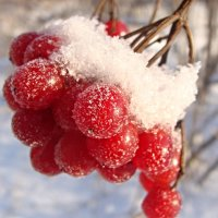 Калина в снегу. :: Елена Дёмина