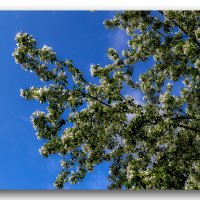 яблони в цвету :: gribushko грибушко Николай