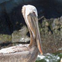 Пеликан на пляже у Сан-Диего :: Алексей Меринов