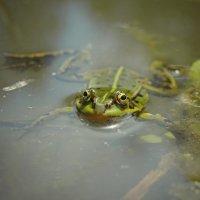 Зелёная лягушка. :: Елена Kазак