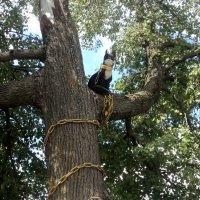 У лукоморья дуб зелёный... :: Ольга Кривых