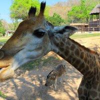 Жираф с травкой и  зеброй :: Vladimir 070549