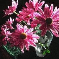Хризантемы. :: Михаил Попов