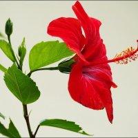 Пламенный цветок :: Swetlana V