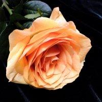 Персиковая роза :: Елена Шемякина
