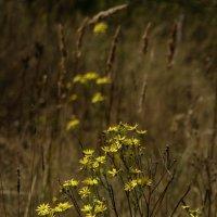 Полевые цветы :: Людмила (Руца)
