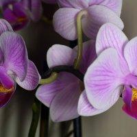 Орхидея :: Виктор Филиппов
