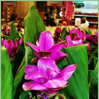 Цветы куркумы. :: Валерия Комова