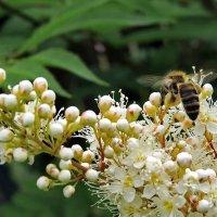 Пчела на подлёте к рябиннику. :: Пётр Сесекин