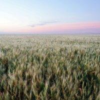 Пшеничное лето :: Юлия Кондратьева