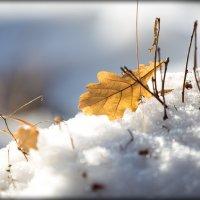 Дубок выбирается из-под снега. :: Наталья Непеина