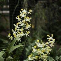 Орхидея :: Евгений Челноков