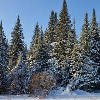 Зимний лес :: Вера Андреева