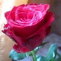 Роза любви :: Елена Семигина