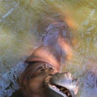 Загадочная улыбка... или кокетливый взгляд бегемота ? :: Vladimir 070549