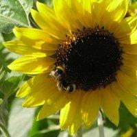 Две пчелы :: Михаил Андреев