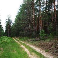Дорога в сосновый лес :: Damir Si