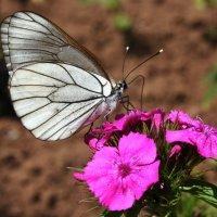 Бабочка на гвоздике :: Damir Si