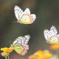 Танец бабочек :: maikl falkon