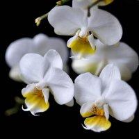 Орхидеи :: galidob