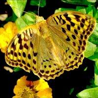 Бабочка-красавица :: Нина Корешкова