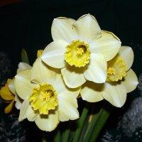 Нарциссы :: laana laadas