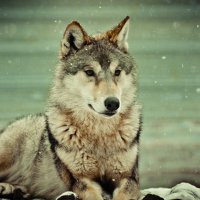 Волк :: Ольга Пуковецкая