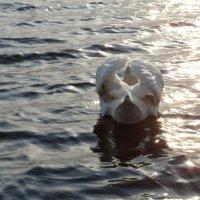 лебедь на закате :: Ольга Ткаченко