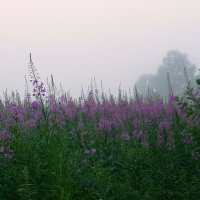 Утро туманное.Поле иван-чая. :: Павлова Татьяна Павлова