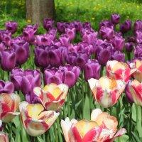 Фестиваль тюльпанов :: Николай