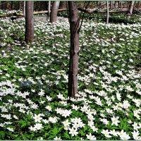 Весенний лес был весь в цветах! :: Валерия Комова