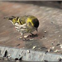 чиж :: linnud