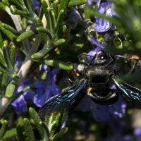 Пчела плотник :: Александр Деревяшкин