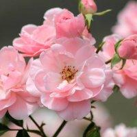 Розы :: Marina K