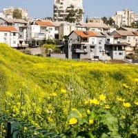 Весна в Израиле-Дикие травы! :: Александр Деревяшкин