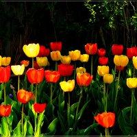 Нежные тюльпаны на 8 Марта! :: galina tihonova