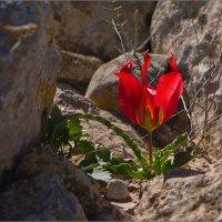 Цветы пустыни Негев. Израиль :: Lmark