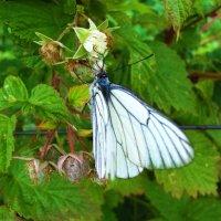 Бабочка  на малине :: Владимир Ростовский