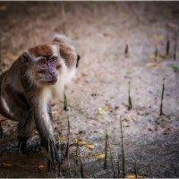 Вожак...Национальный Парк Кинабалу,о.Борнео,Малайзия... :: Александр Вивчарик