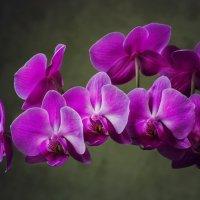 Орхидея фаленопсис Золушка :: Ирина Приходько