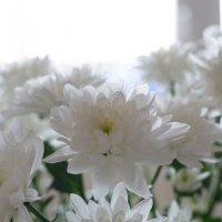 Весенние хризантемы :: prostow